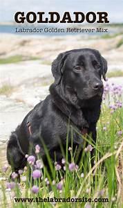 Goldador - The Labrador Golden Retriever Mix Breed