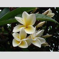 A List Of The Most Fragrant Flowers Dengarden