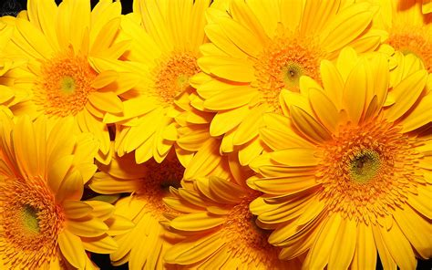 with yellow flowers yellow flower wallpaper 1920x1200 42600