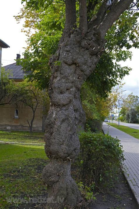 Rētains ošlapu kļavas stumbrs - Kļavas (Acer) - redzet.eu