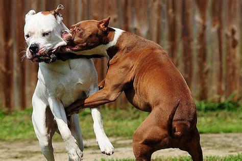 sequestrati  pitbull forse usati nei combattimenti