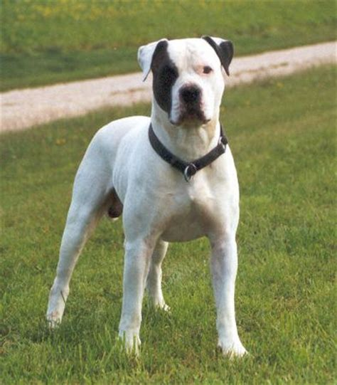 american bulldog colors american bulldog country bulldog amerikanische