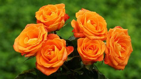 Beautiful Orange Roses Wallpapers by Beautiful Orange Flowers 11 Flower Images Pictures