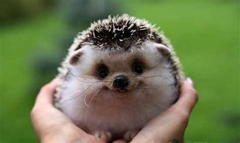 Cute Smiling Hedgehog