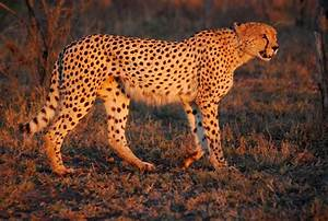 Diagram Of Cheetah