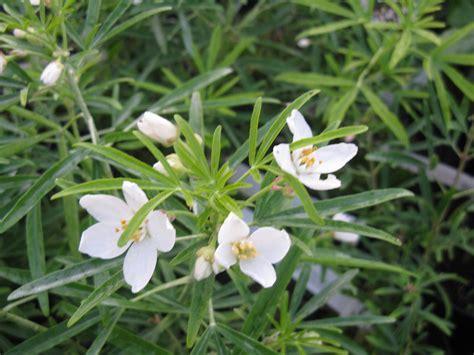 choisya aztec pearl en pot choisya aztec pearl botanicaplantnursery co uk