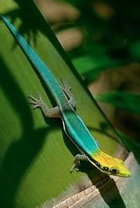 FINGERLINGS — The Yellow headed Day Gecko Phelsuma