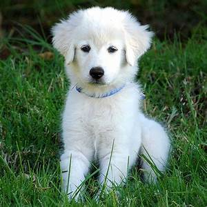 72 best images about Abruzzese Mastiff on Pinterest | More ...