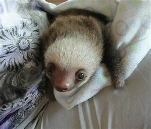 One of the baby sloths at the Toucan Rescue Ranch ...