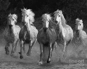 Camargue Horses Running Photograph by Carol Walker