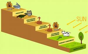 Who eats what in the food chain? Trophic levels of food chains