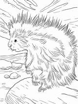 Porcupine North Coloring Printable Animals Porcupines Animal Drawings Supercoloring Cartoon Sheets Worksheet sketch template