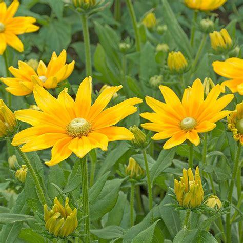 rudbeckia prairie sun white flower farm