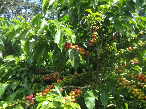 ' Nuffield Trip: Daterra Coffee Bean Producer for the Queen