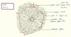 Liver  Gall Bladder And Pancreas