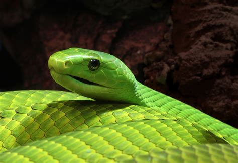 extract  deadly green mamba venom offers hope