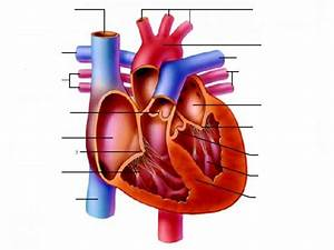 The Heart Diagram Unlabeled
