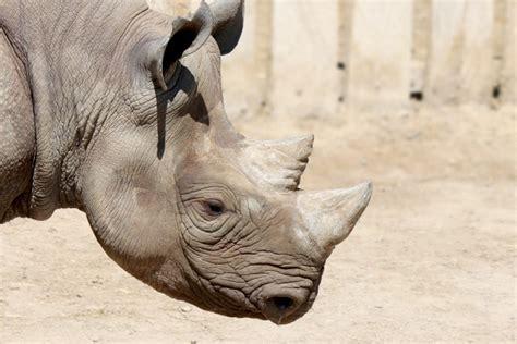 black rhino profile  stock photo public domain pictures