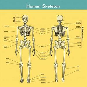 U1408 Skeletal System Diagram Stock Illustrations  Royalty