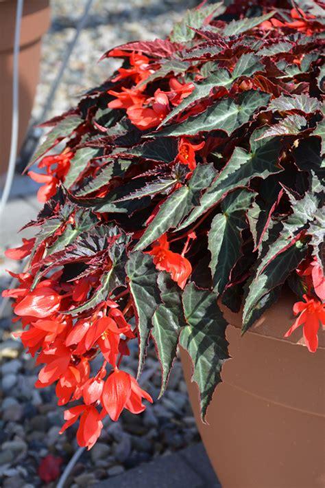 summerwings dark elegance begonia begonia summerwings