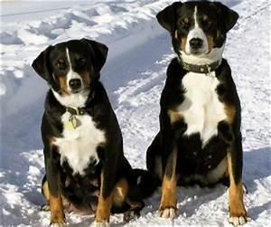 Appenzell Mountain Dog - Appenzeller Sennenhund