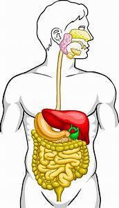 Unlabeled Digestive System
