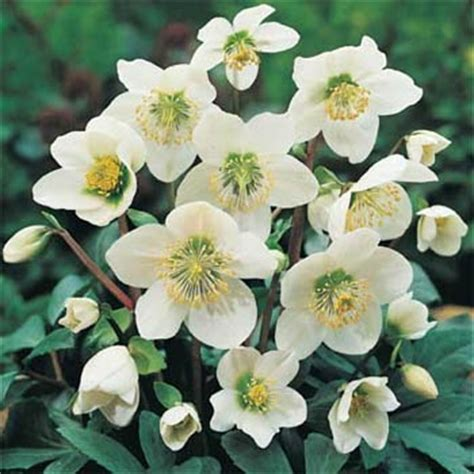 Image result for christmas rose