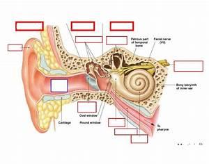 Inner Ear Diagram Labeled