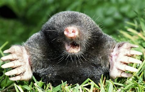Mole Facts, History, Useful Information And Amazing Pictures