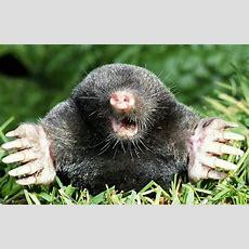 Moles  Pestguard Northwest
