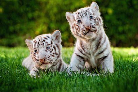 Animal Cubs Wallpapers - two white tiger baby cubs animals