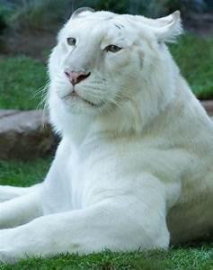 white lion | albino | Pinterest