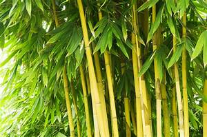 Bambus Vernichten Tipps : bambus verliert bl tter was k nnen sie dagegen tun ~ Whattoseeinmadrid.com Haus und Dekorationen
