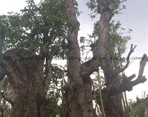 jual pohon besar
