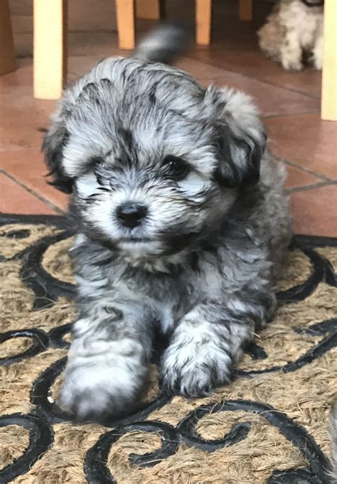soldshih poo puppies gorgeous   girls left