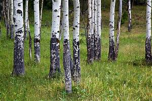 Quaking Aspen Trees Yellowstone National Park WY