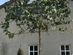 lei dak bomen sierbomenspecialist