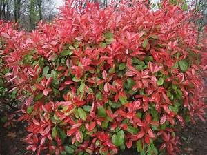 Arbuste À Feuillage Persistant : arbustes feuillage persistant jardinerie riera ~ Melissatoandfro.com Idées de Décoration