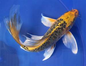 Butterfly Koi Fish | butterfly matsubu dragon scale $ 75 ...