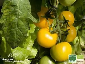 Tomaten Blätter Gelb : tomate 39 goldene k nigin 39 goldgelb bioland ~ Frokenaadalensverden.com Haus und Dekorationen
