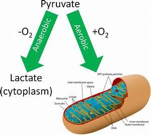 Simple Aerobic And Anaerobic Respiration Diagram
