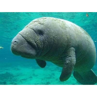 90 best images about Animals: Dugongs and Manatees on