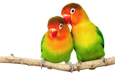 lovebirds real wonderopolis