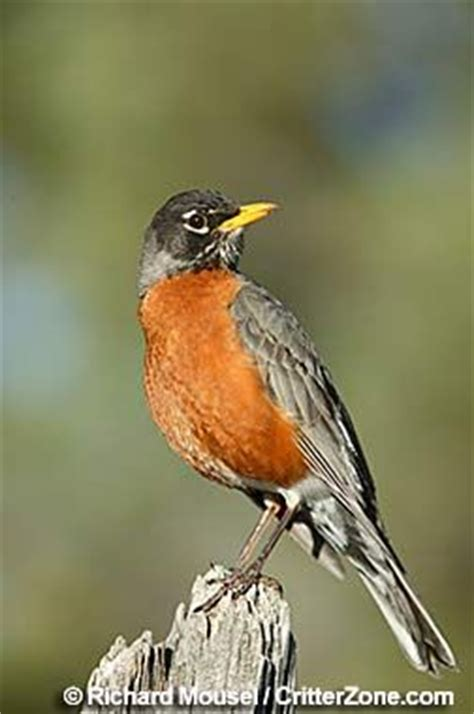 connecticut state bird american robin