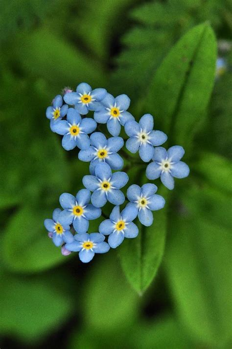 tiny blue flower tiny blue yellow flowers bloom pinterest
