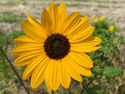beach sunflower university  florida institute  food
