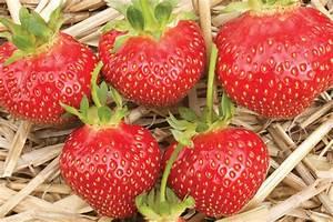 Plant De Fraise : galletta fraisier plant de fraises ~ Premium-room.com Idées de Décoration