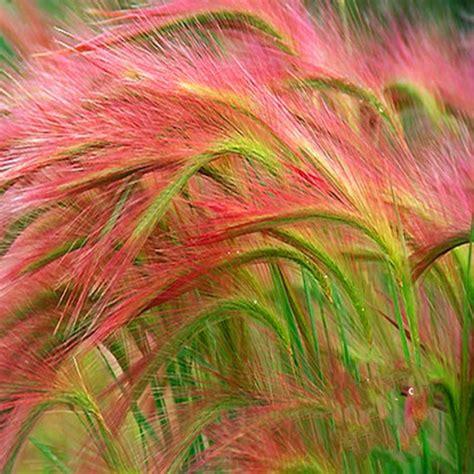 pink foxtail barley ornamental grass seeds jack seeds