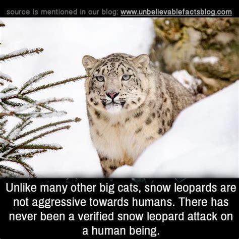big cats snow leopards