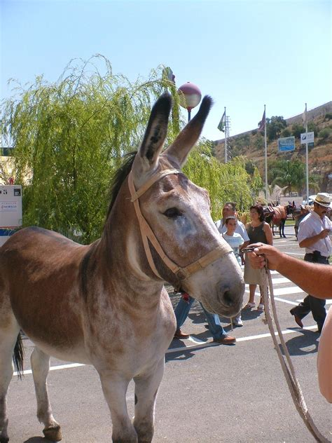 donkey andalusian breeds donkeys andaluz spain asno wikipedia burro animal burros species mules mammoth american category rare endangered domestic town